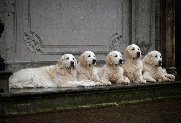 When 3 Golden Retrievers Aren T Enough I Wouldn T Mind One Of These Capyle Retriever Dog Lovers Golden Retriever