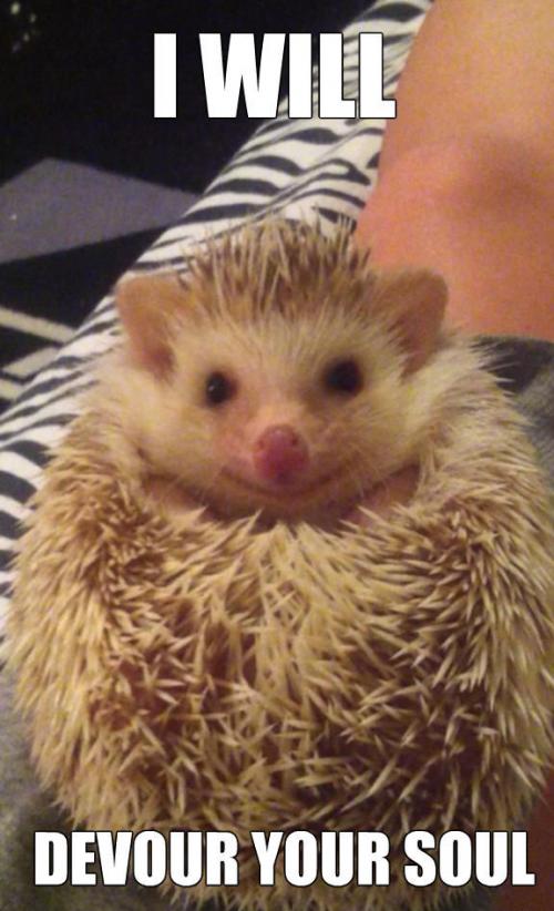 hedgehog meme BIRTHDAY Google Search Cute animals