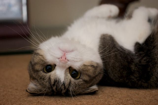Scottish Fold Cats Scottish Fold Kittens Cat Scottish Fold
