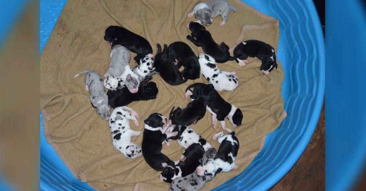 Amazing Great Dane Gives Birth To Record Breaking 19 Puppies