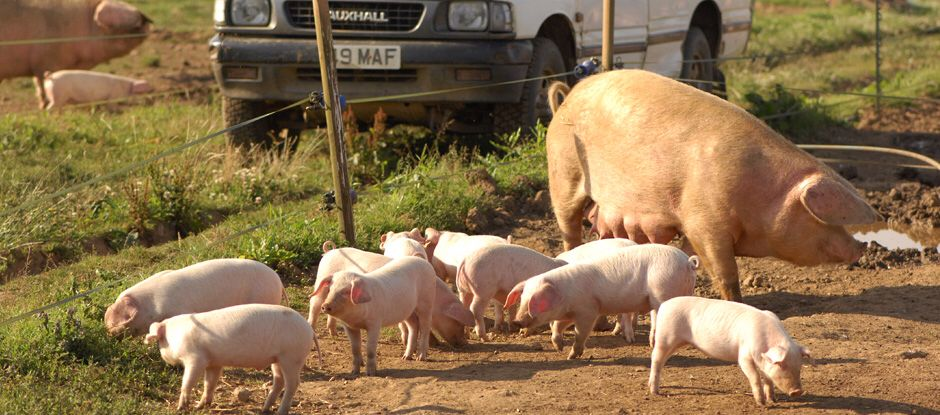 British lop pig society