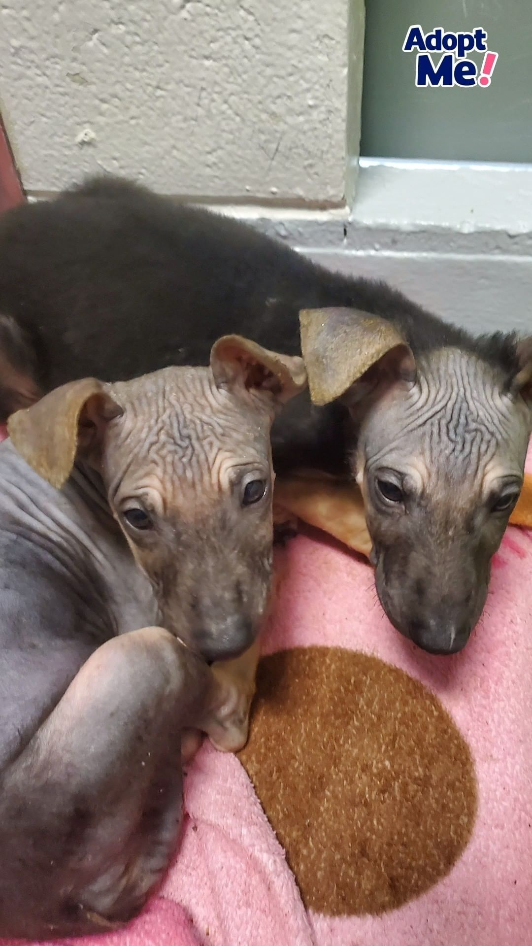 The Dodo On Instagram These Hairless German Shepherd Mix Rescue