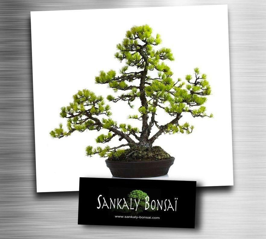 pingl par cuc le sur bonsai bonsai. Black Bedroom Furniture Sets. Home Design Ideas