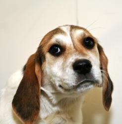 Adopt Raquel On Hound Dog Puppies Animal Rescue