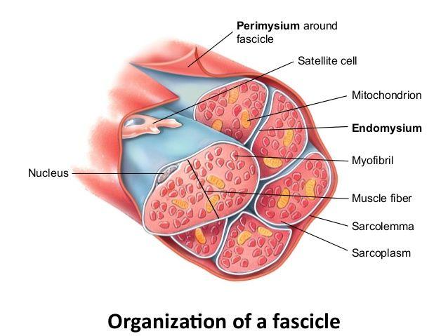 Los mecanismos de la hipertrofia muscular y su aplicacin al los mecanismos de la hipertrofia muscular y su aplicacin al entrenamiento de fuerza ccuart Images