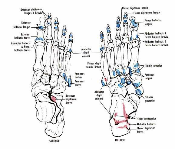 muscle attachments of the foot