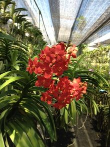 Cattleya Kagawara With Images Orchids Orchid Nursery Cattleya