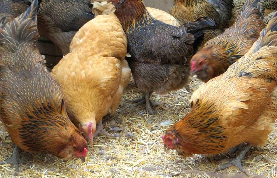 ویژگی باكتری های پروتكسین ماکی دام Livestock Animals Poultry