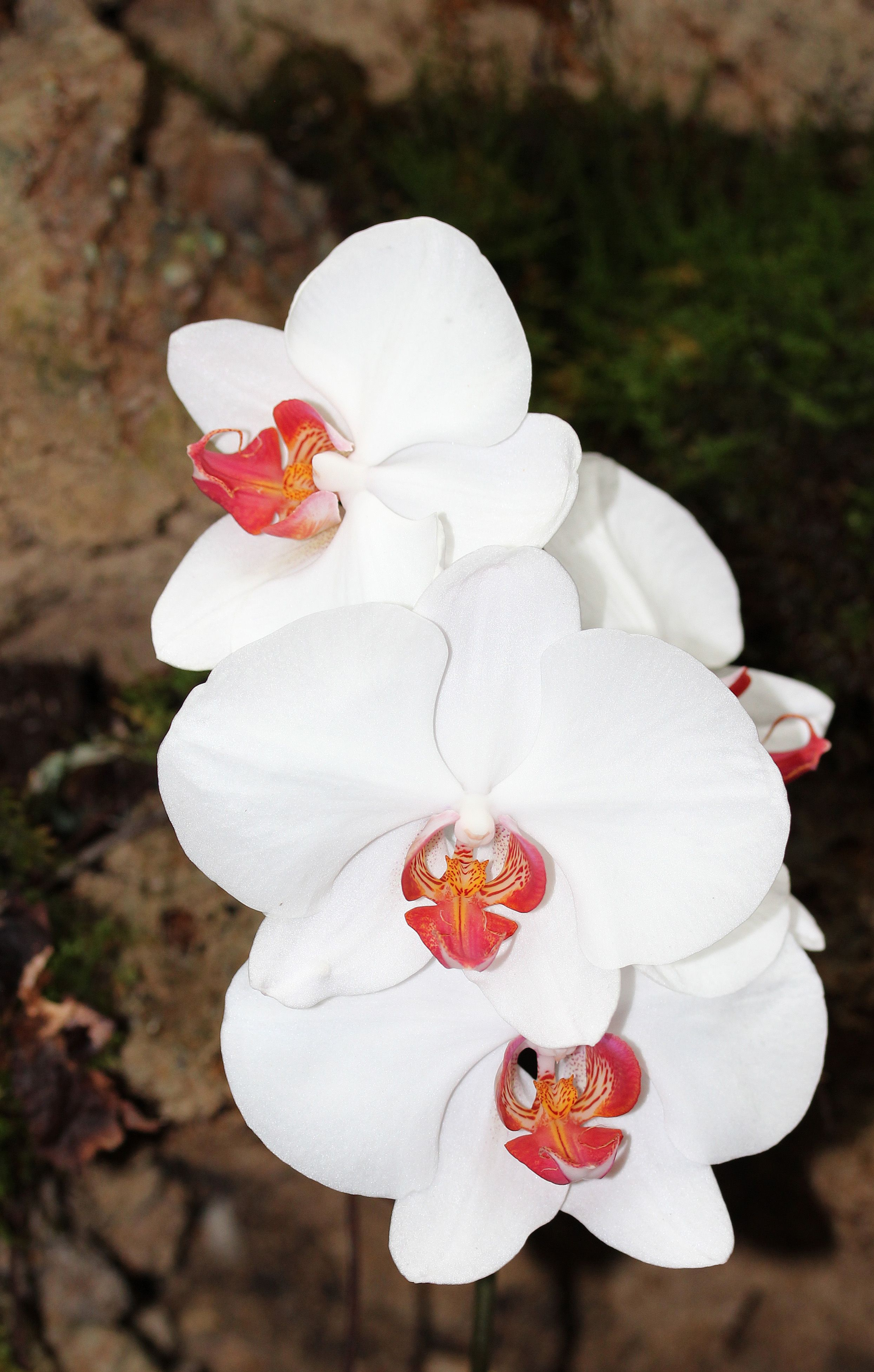 White Doritaenopsis Orchid Flowers Orchids Pinterest Indoor