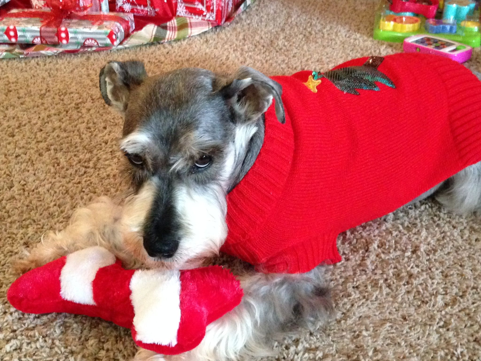 Pin by Valerie Hunt on Schnauzer's make me smile! Aww