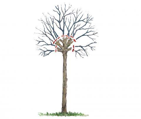 kugelb ume richtig schneiden garten kugelbaum garten pflanzen und baum
