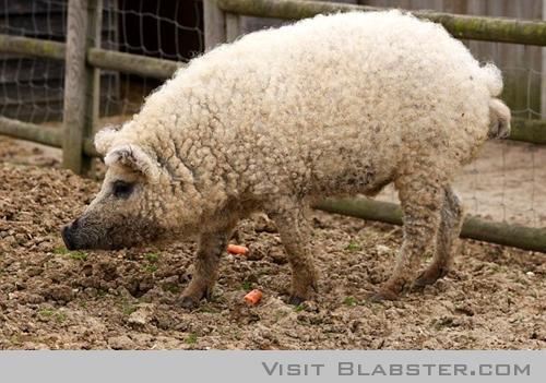 Sheep Pig crazy