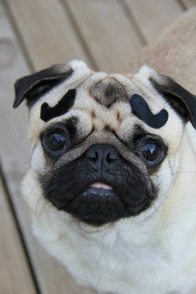 My What Big Bushy Eyebrows You Have For Such A Little Pug Pugs