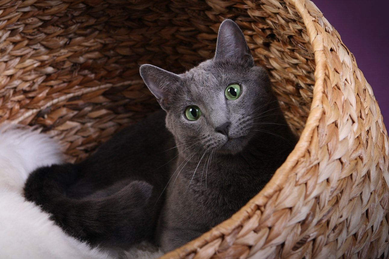 9 Cat Breeds That Don T Shed Much For People Who Are Sensitive To