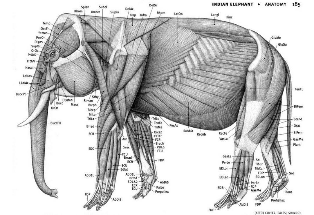 elephant _anatomy   Anatomy Ref: Animals(mix)   Pinterest   Tiere ...