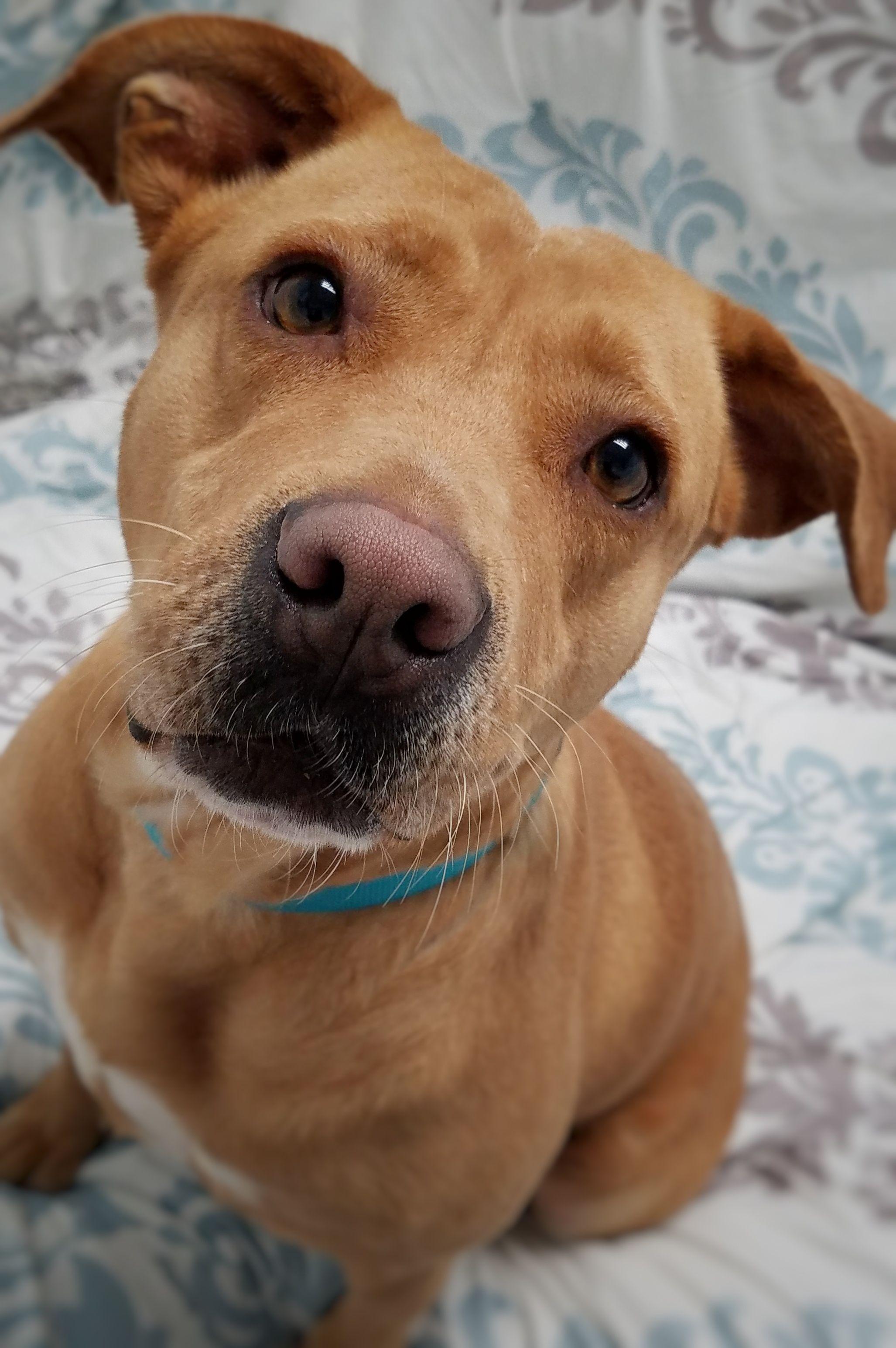 Labrador Retriever dog for Adoption in Hornell, NY. ADN