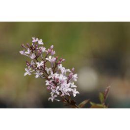 Syringa oblata Samen #kletterpflanzenwinterhart