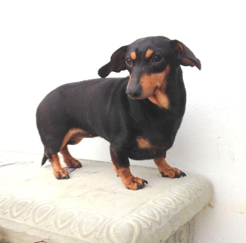 Petfinder Adoptable Dog Dachshund West Monroe La Suzy