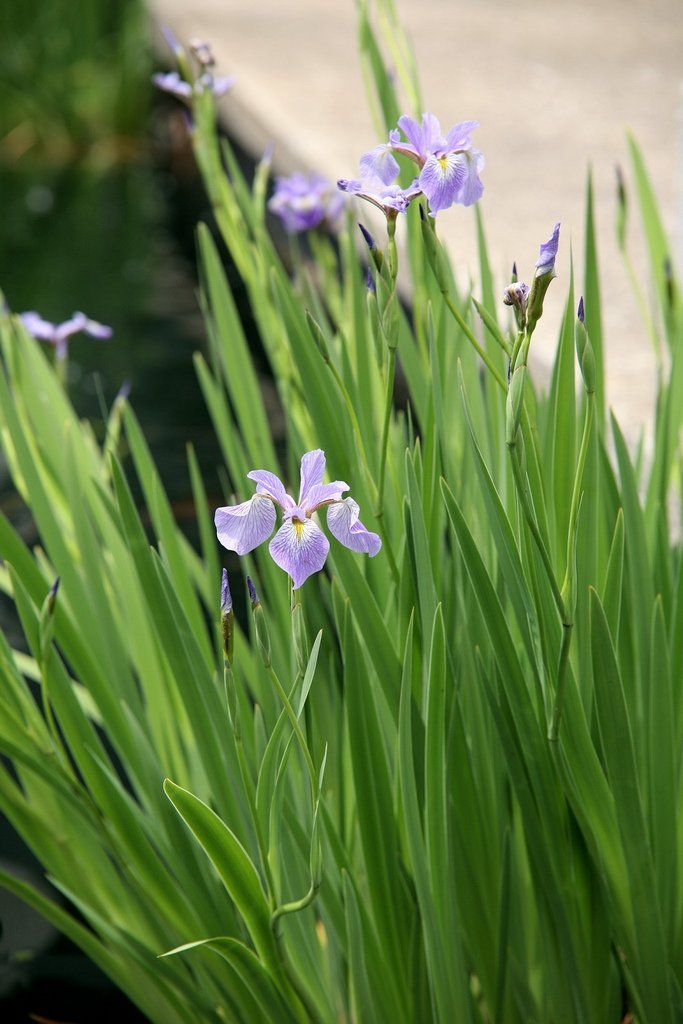 iris versicolor fiche d 39 identit vari t s plantation culture mini bassin et plantes d 39 eau. Black Bedroom Furniture Sets. Home Design Ideas