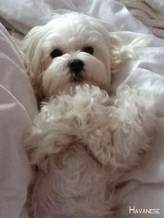 Pin By Victoria Hough On Puppy Please In 2020 Maltese Dogs