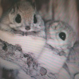 Dwarf Japanese flying squirrels