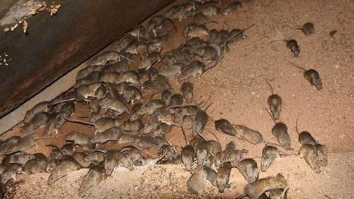lots of rats | Mice infestation, Rodents, Humming bird feeders