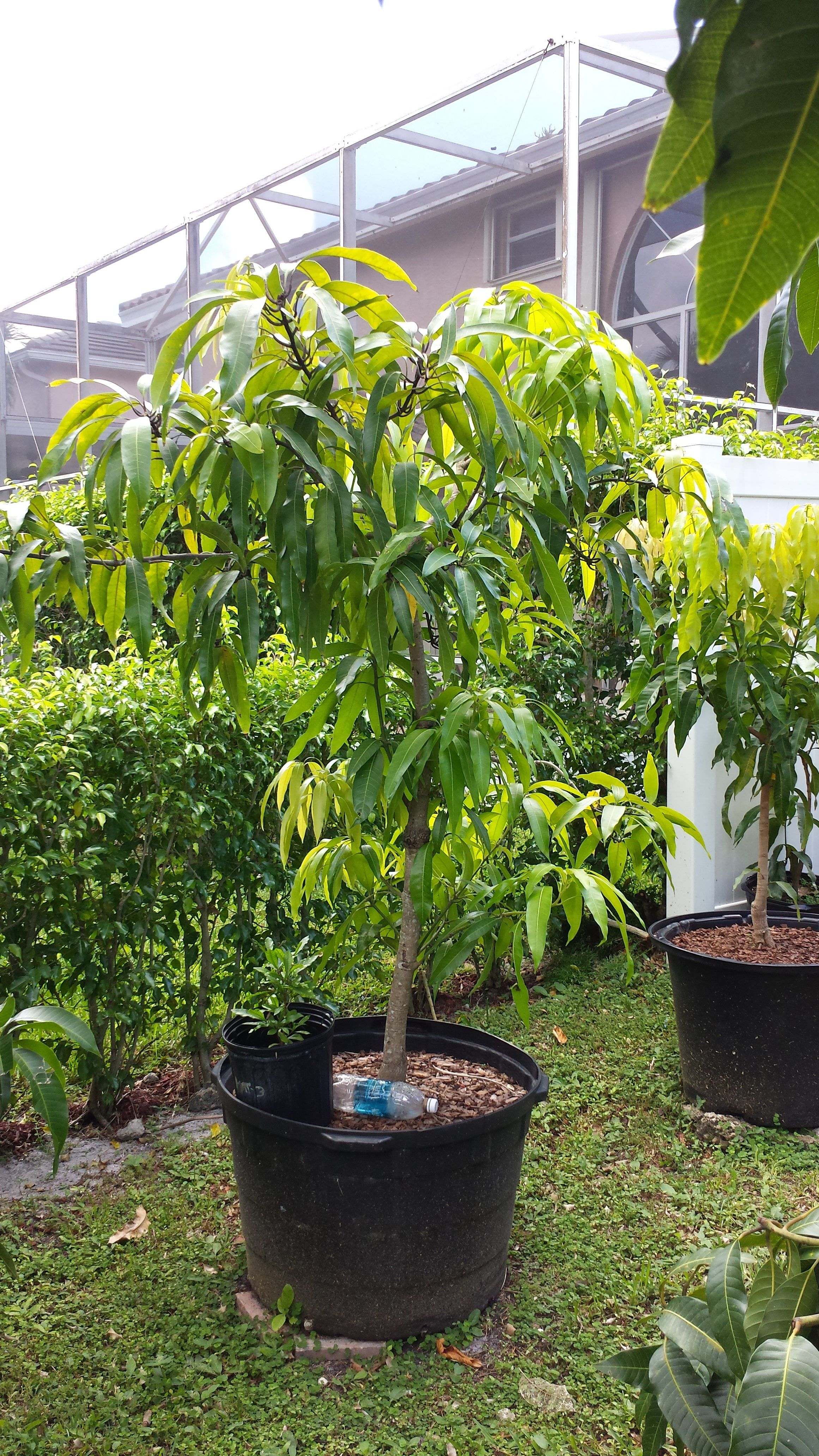 Potted Mango tree tip pruned to shape the canopy after all the fruit was  harvested.