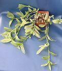 TRADESCANTIA FLUMINENSIS VARIEGATA IN A 4 POT WANDERING JEW PLANT #1412 #plants #seeds #wanderingjewplant TRADESCANTIA FLUMINENSIS VARIEGATA IN A 4 POT WANDERING JEW PLANT #1412 #plants #seeds #wanderingjewplant TRADESCANTIA FLUMINENSIS VARIEGATA IN A 4 POT WANDERING JEW PLANT #1412 #plants #seeds #wanderingjewplant TRADESCANTIA FLUMINENSIS VARIEGATA IN A 4 POT WANDERING JEW PLANT #1412 #plants #seeds #wanderingjewplant