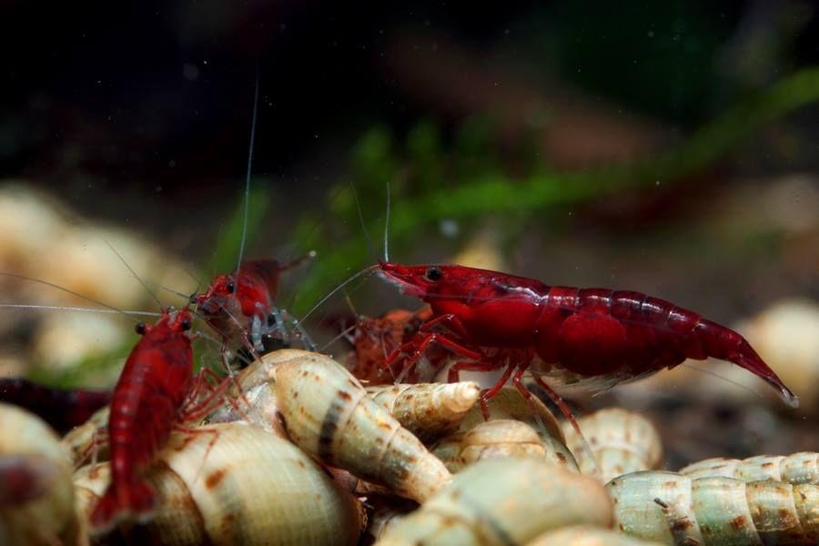 Facebook Freshwater Aquarium Shrimp Freshwater Aquarium Fish Aquarium Fish