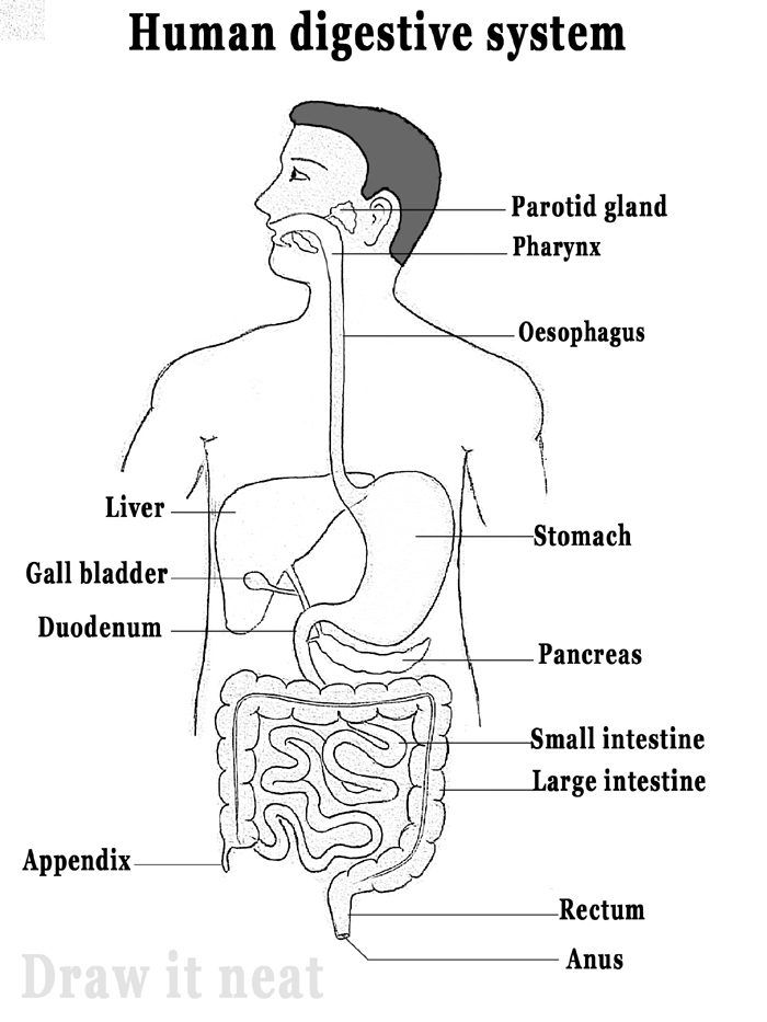 digestive system diagram draw it neat   how to draw human