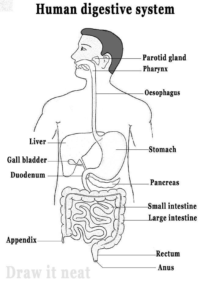 food tube diagram