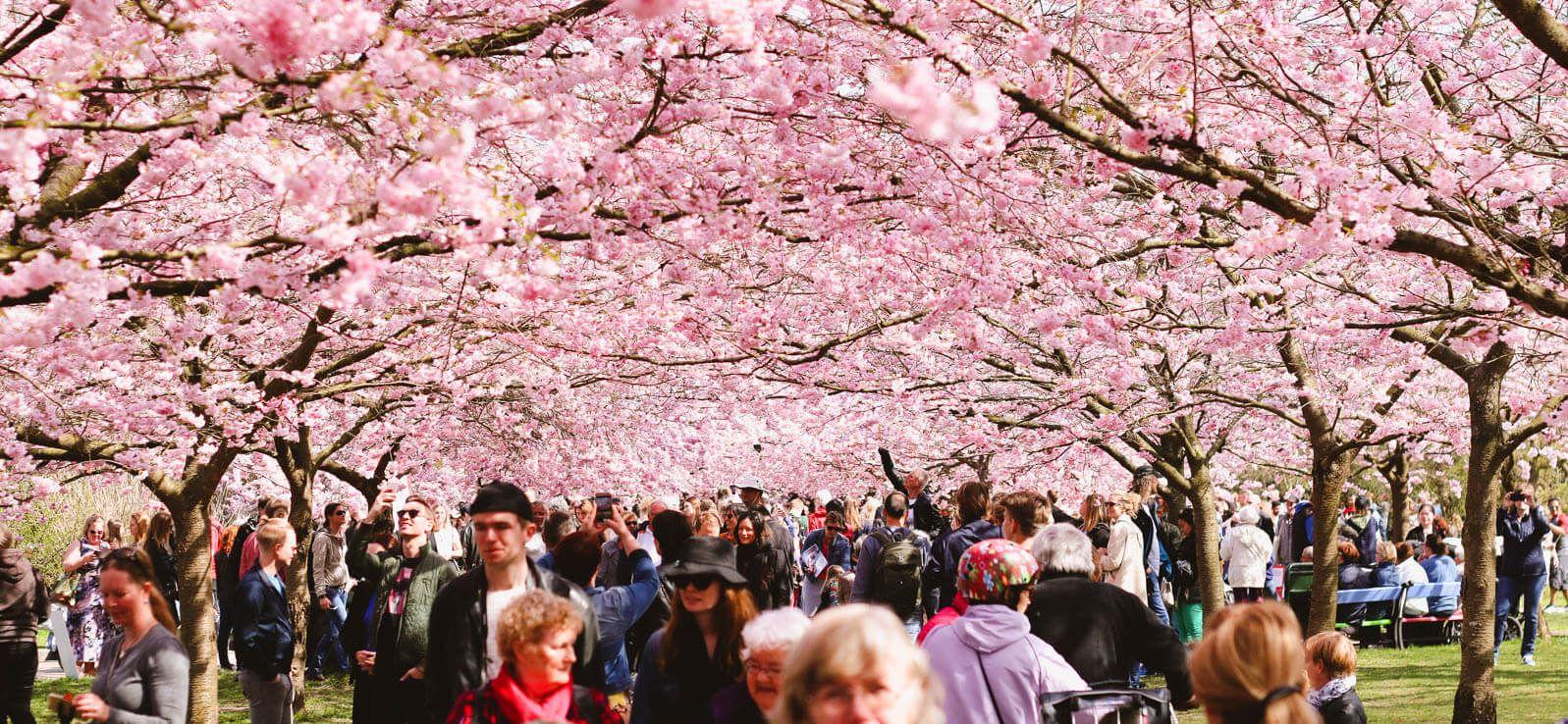 Where To Find Cherry Blossoms In Copenhagen Travel Monkey Copenhagen Copenhagen Travel Cherry Blossom