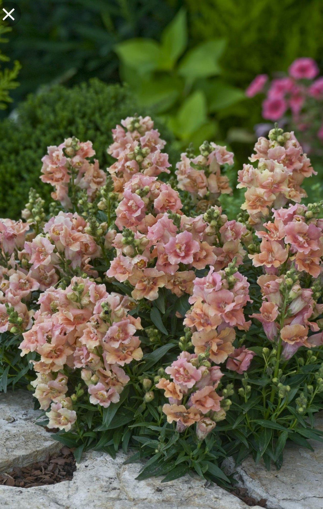 """Snapdragon """"Twinny Peach"""" Antirrhinum, Annual flowers"""