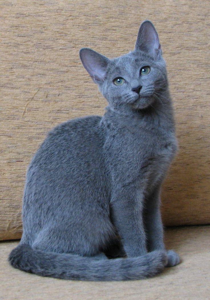 Russisch Blau Katze  Russian Blue Cat  Tiere Katze  Cat