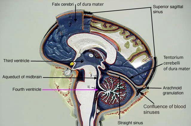 classroom.sdmesa.edu anatomy images Nervous_label Brain ...