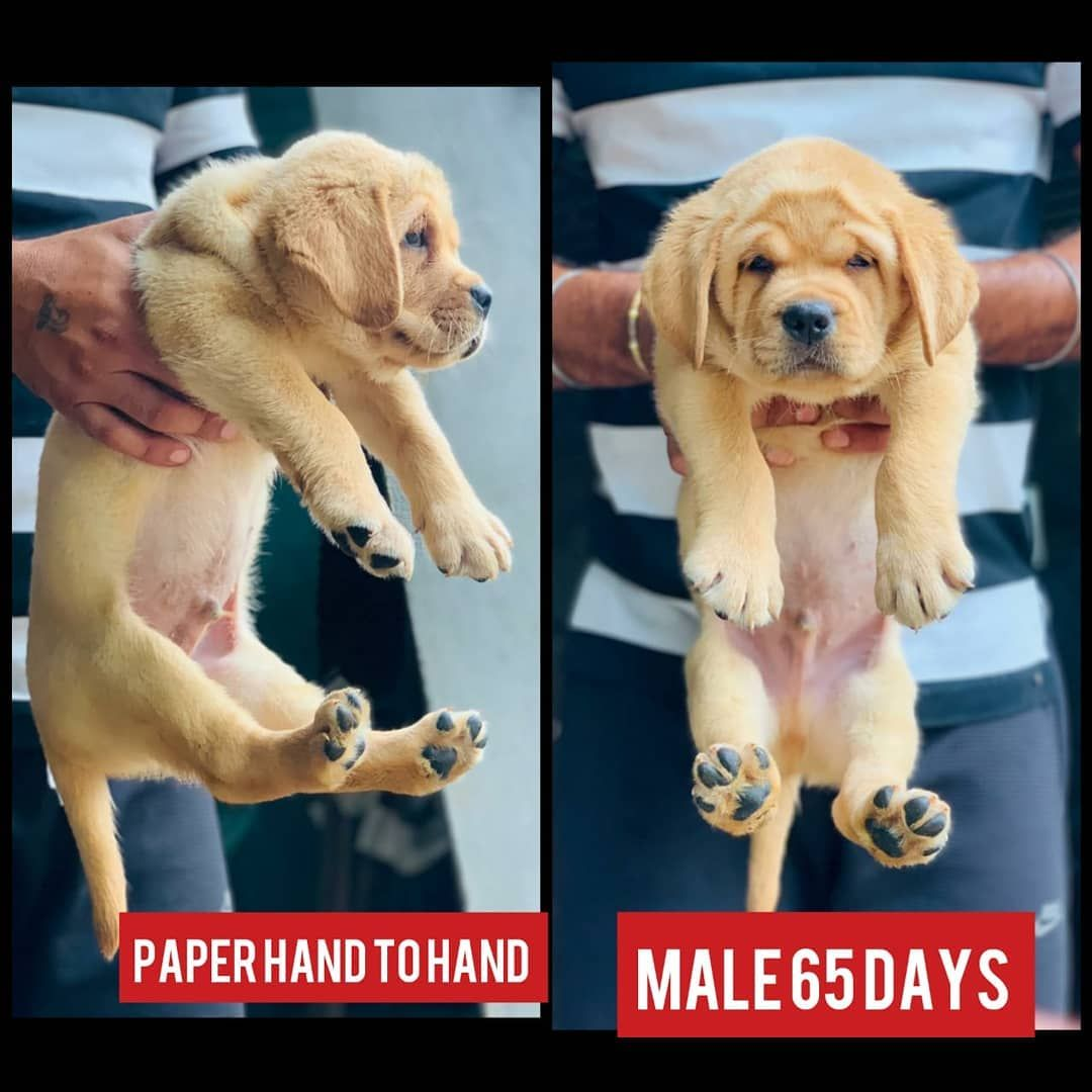 Marshal Line Labrador Pup Male 35 Female 30 Haryana Shipping Extra Tag Dogs Amusing Animals