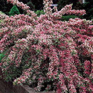 Weigelia Fiori Bianchi.Pink Splash Variegated Weigela Giardini Perenni Arbusti Da