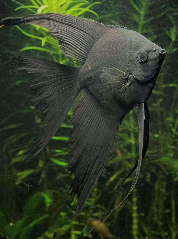 Freshwater Angelfish Information Aquatic Mag Angel Fish Aquarium Fish Fresh Water Fish Tank