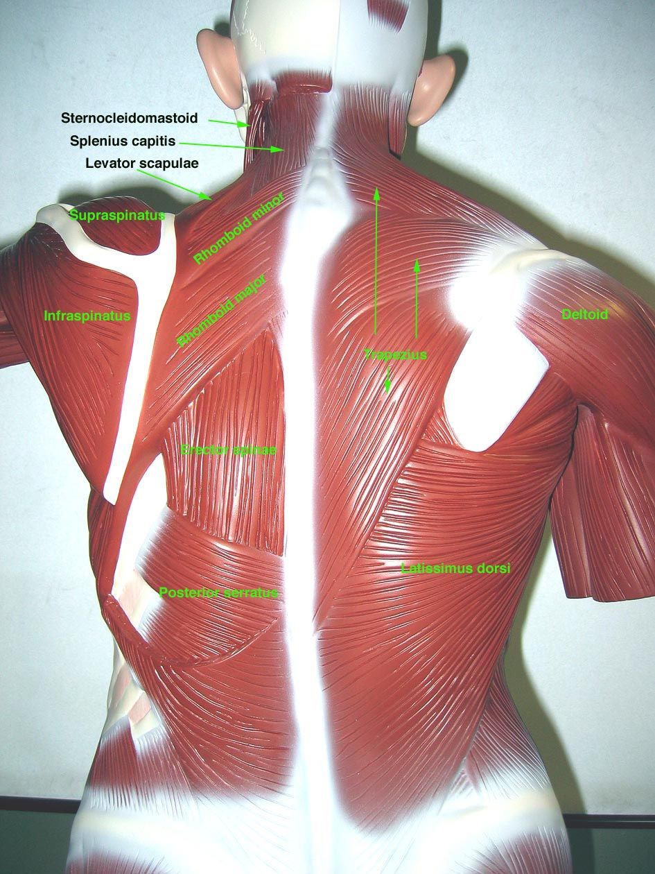somso+torso+muscle+model+labeled | Torso in I3-310 | Anatomy lab 2 ...