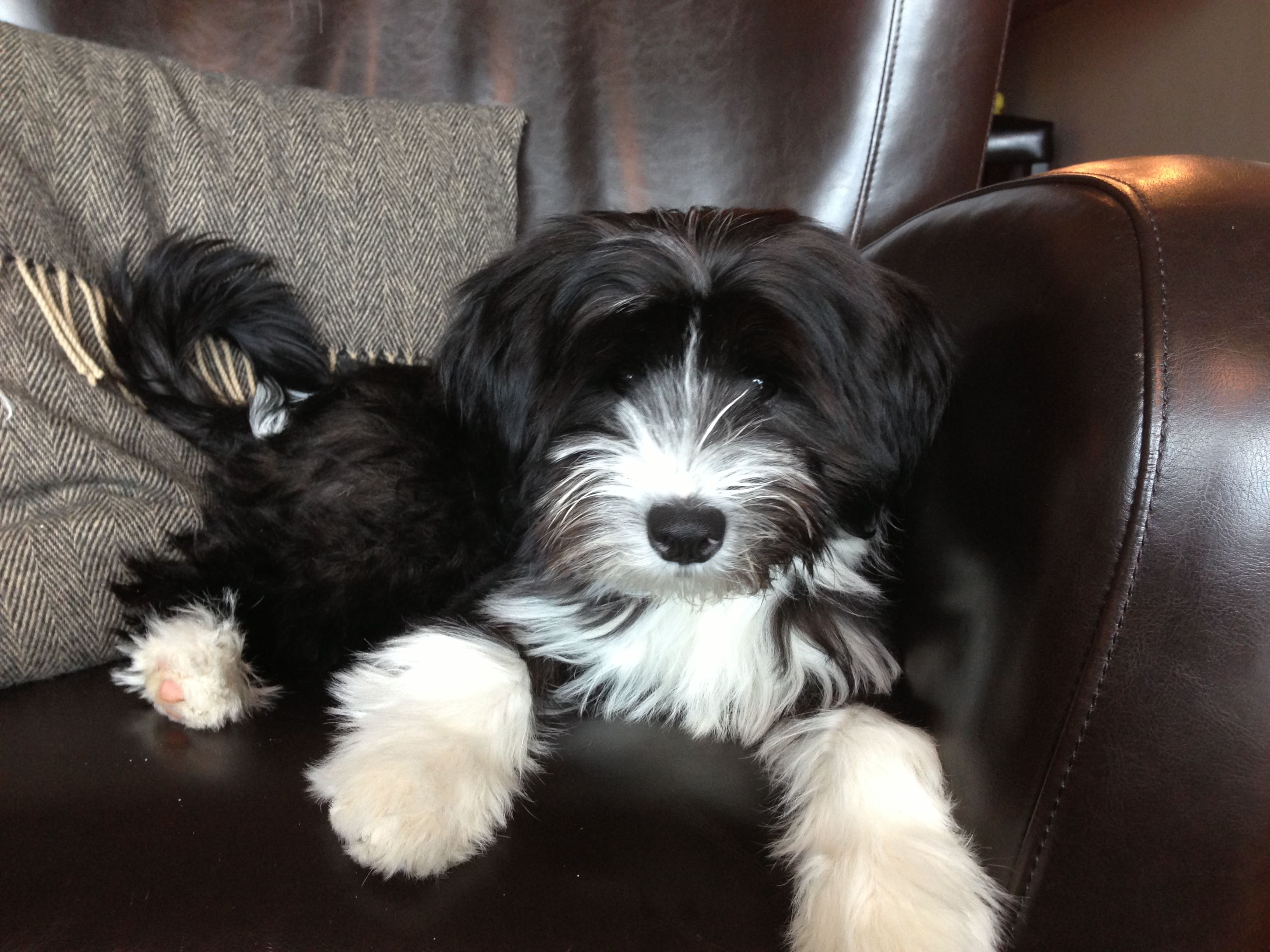 Tibetan Terrier Dalai Grace 20 Wks Tibetan Terrier Terrier Puppies Animal Antics