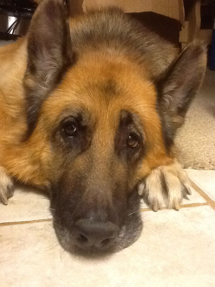 Veterinarian Adopts Senior German Shepherd Right Out Of Shelter Euthanasia Room Dogs Dog Insurance