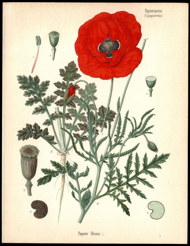 Poppy Flower Scientific Drawing Herman Adolph Kohler 1887 Red
