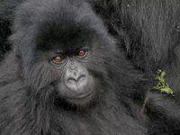 The Dian Fossey Gorilla Fund International~Videos