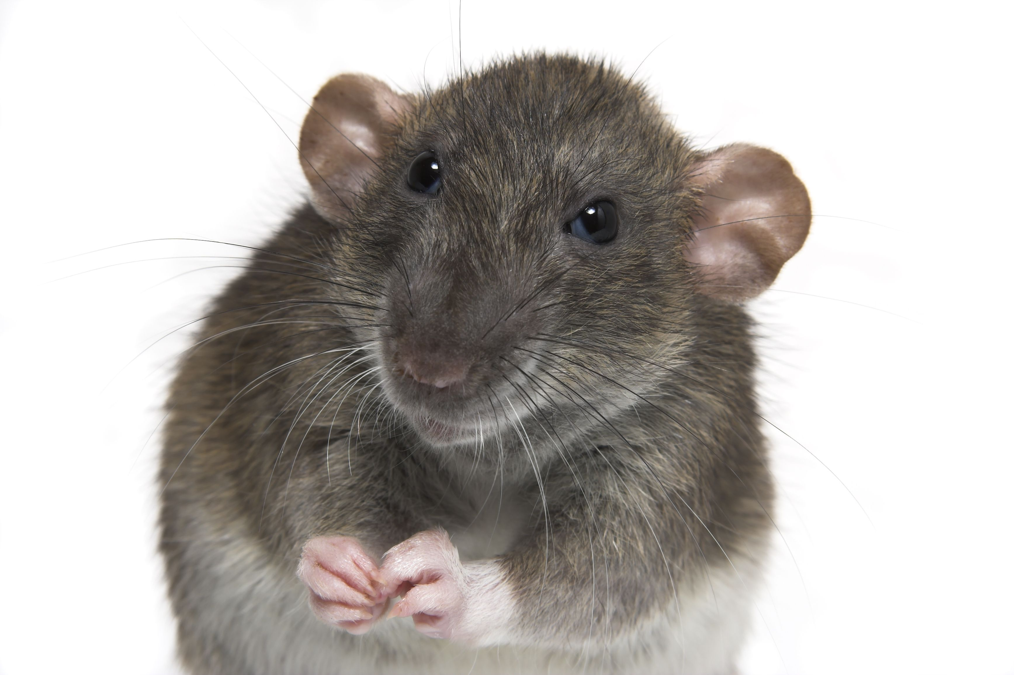 отзывы картинка боюсь крыс всего