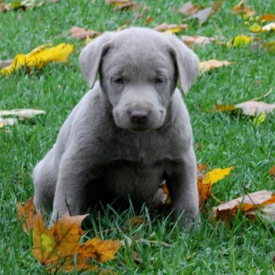 Tommy Labrador Retriever Silver Puppy For Sale In Drumore Pa