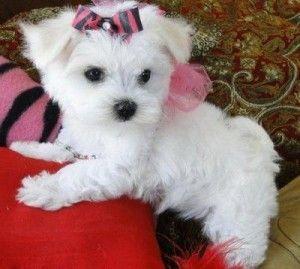 Maltese Pups For Adoptio Maltese Pups For Adoption Sorryskippy