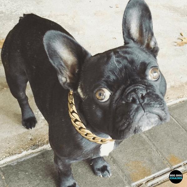 The cuban Dogs, Gold dog collar, Large dog breeds