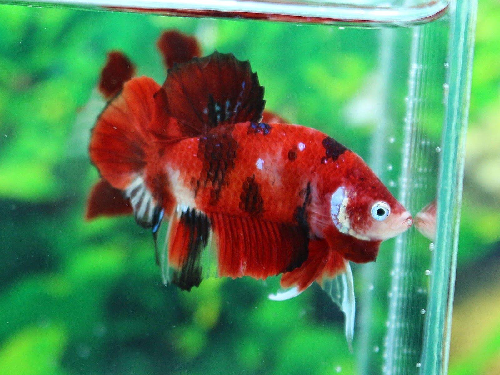 AquaBid.com - Item # fwbettashmp1416832125 - hippo- RED DEVIL KOI ...