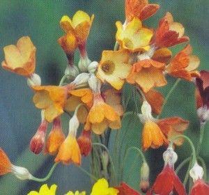 Primula florindae 'Keilour Hybrid', Kæmpeprimula