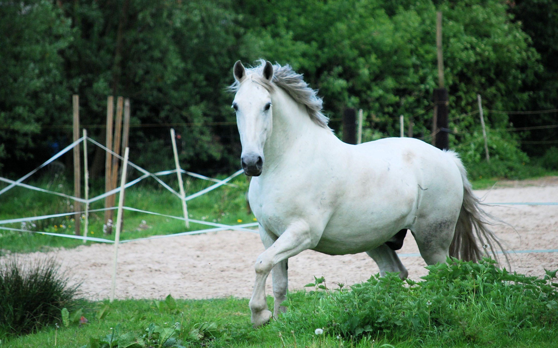 White Horse Wallpaper Hd For Desktop 2880x1800 Px 814 79 Kb Pure
